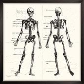 istock Human Skeleton. Engraving 1162789698
