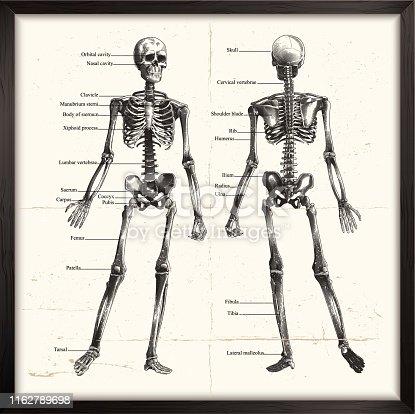 Engraved image of human skeleton. eps9