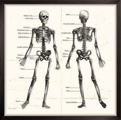 Human Skeleton. Engraving