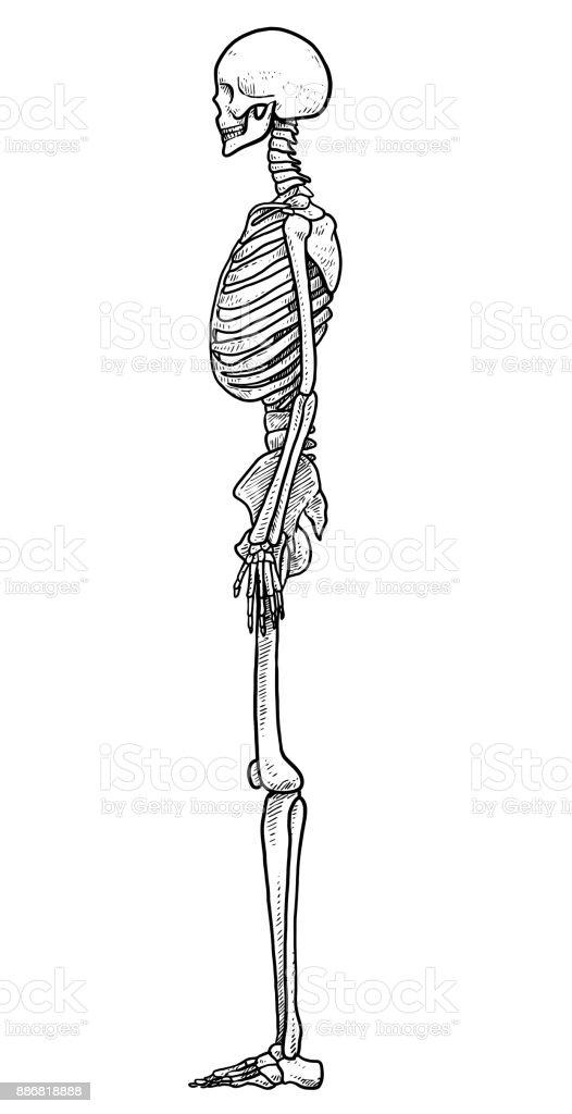 Ilustración de Ilustración Esqueleto Humano Dibujo Grabado Tinta ...
