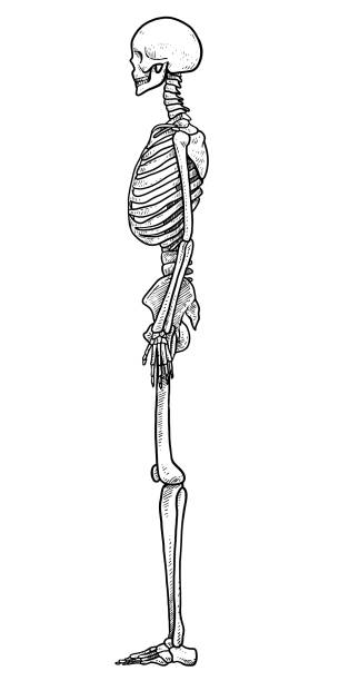 Best Human Skeleton Side View Drawing Illustrations