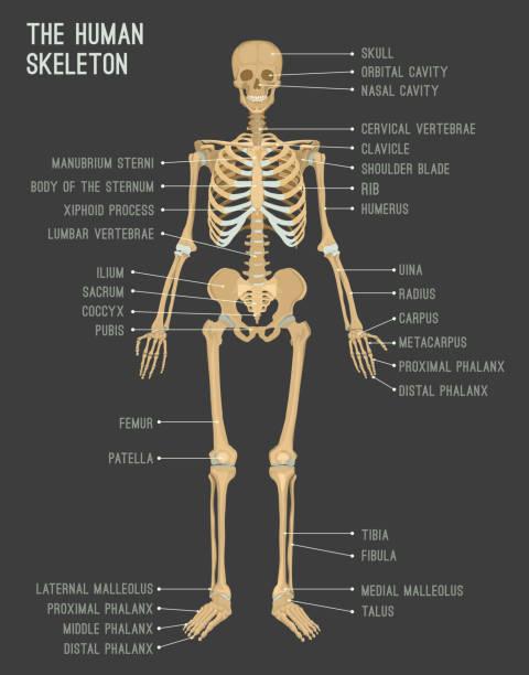 Royalty Free Leg Bone Clip Art, Vector Images & Illustrations - iStock