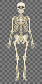 Human skeleton isolated on white vector