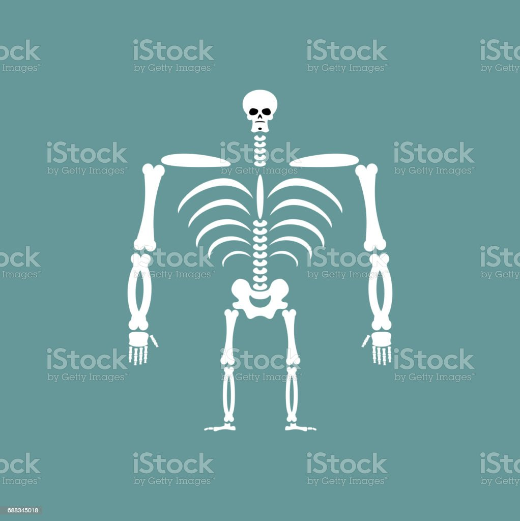 Human skeleton isolated. Skull and Bones. Spine and ribs vector art illustration