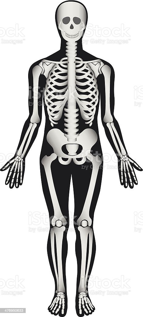 Human Skeleton - Male royalty-free stock vector art