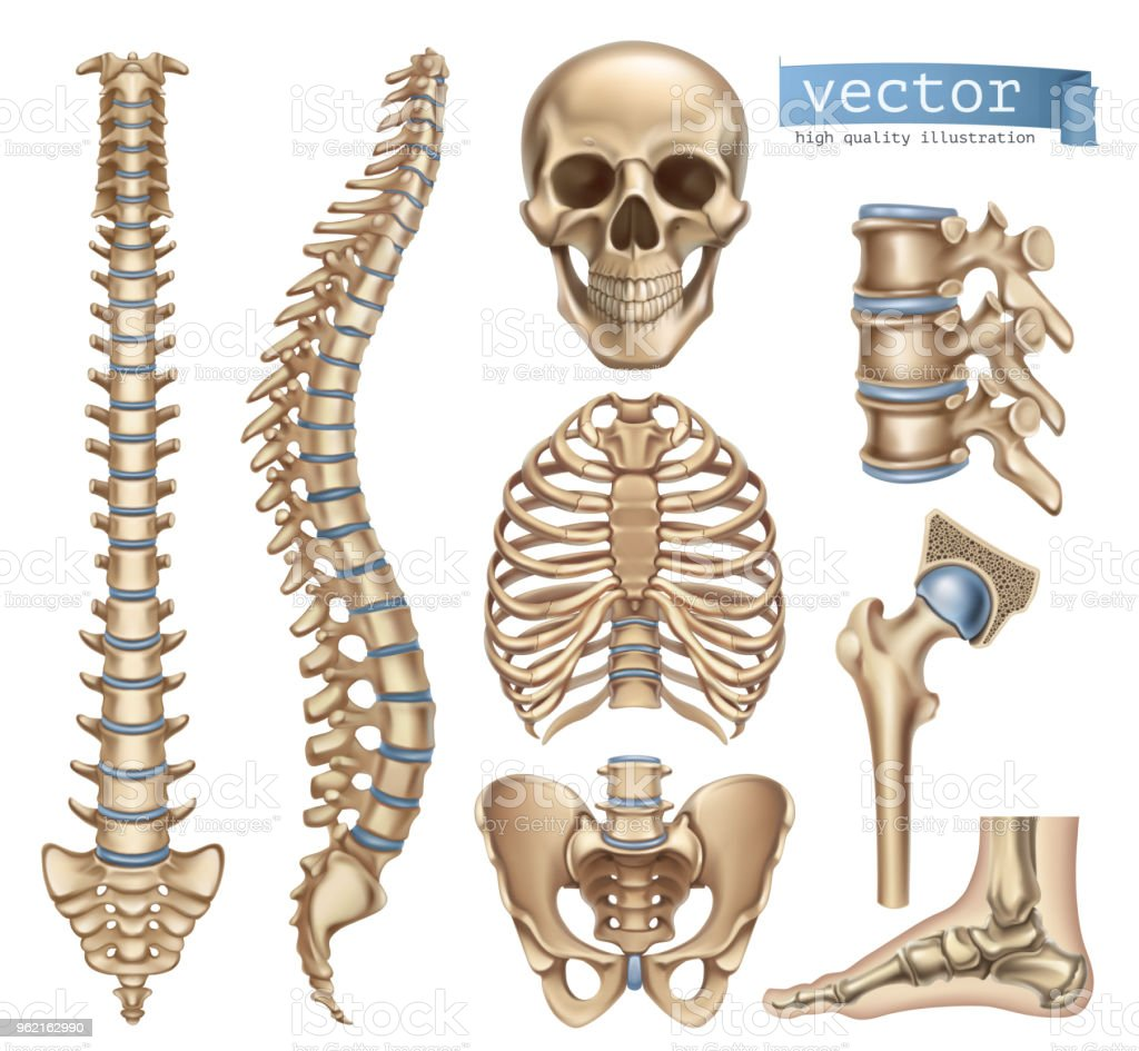 Human Skeleton Structure Skull Spine Rib Cage Pelvis Joints Anatomy ...