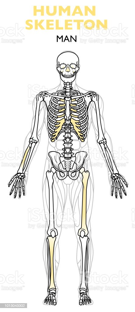 Human Skeleton The Human Skeleton Is The Internal Framework Of The