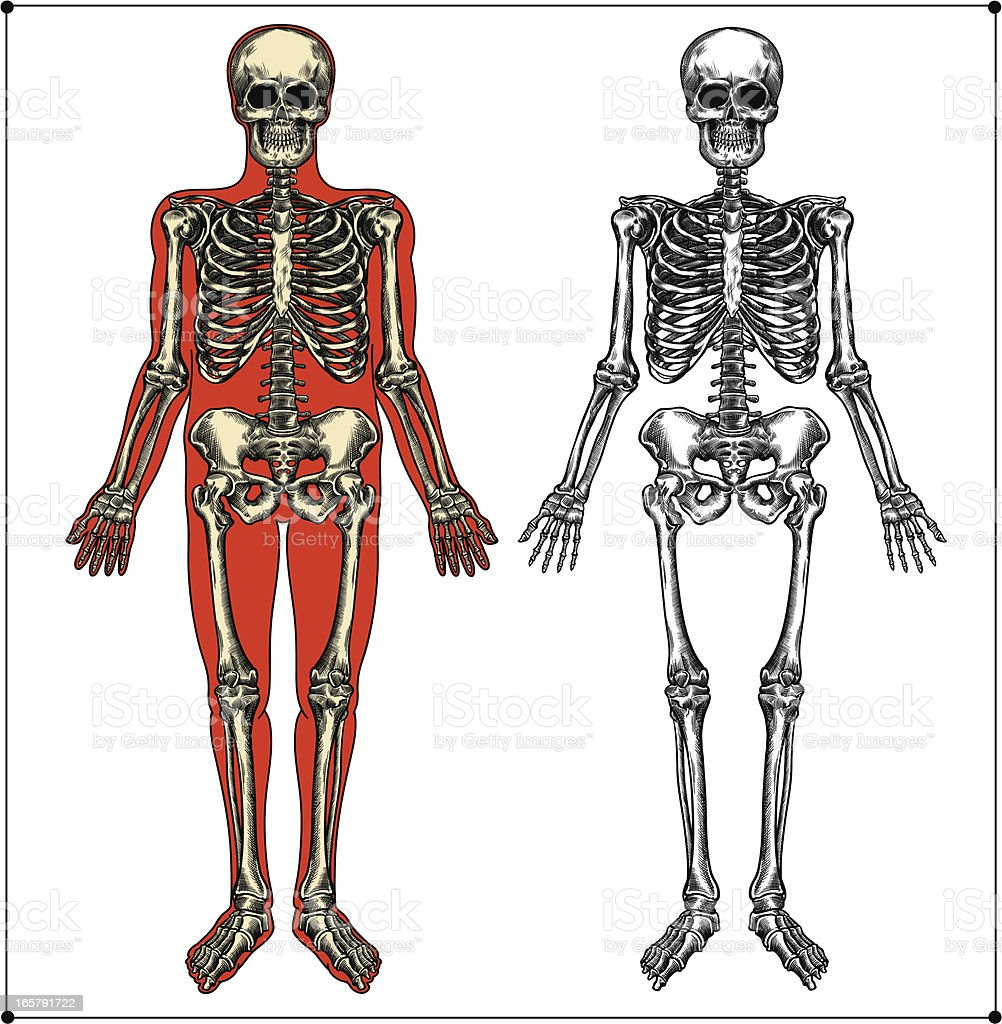 Human Skeleton Stock Vector Art & More Images of Anatomy 165791722 ...