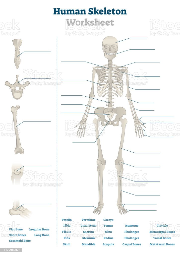 Human Skeleton Worksheet Vector Illustration Blank ...