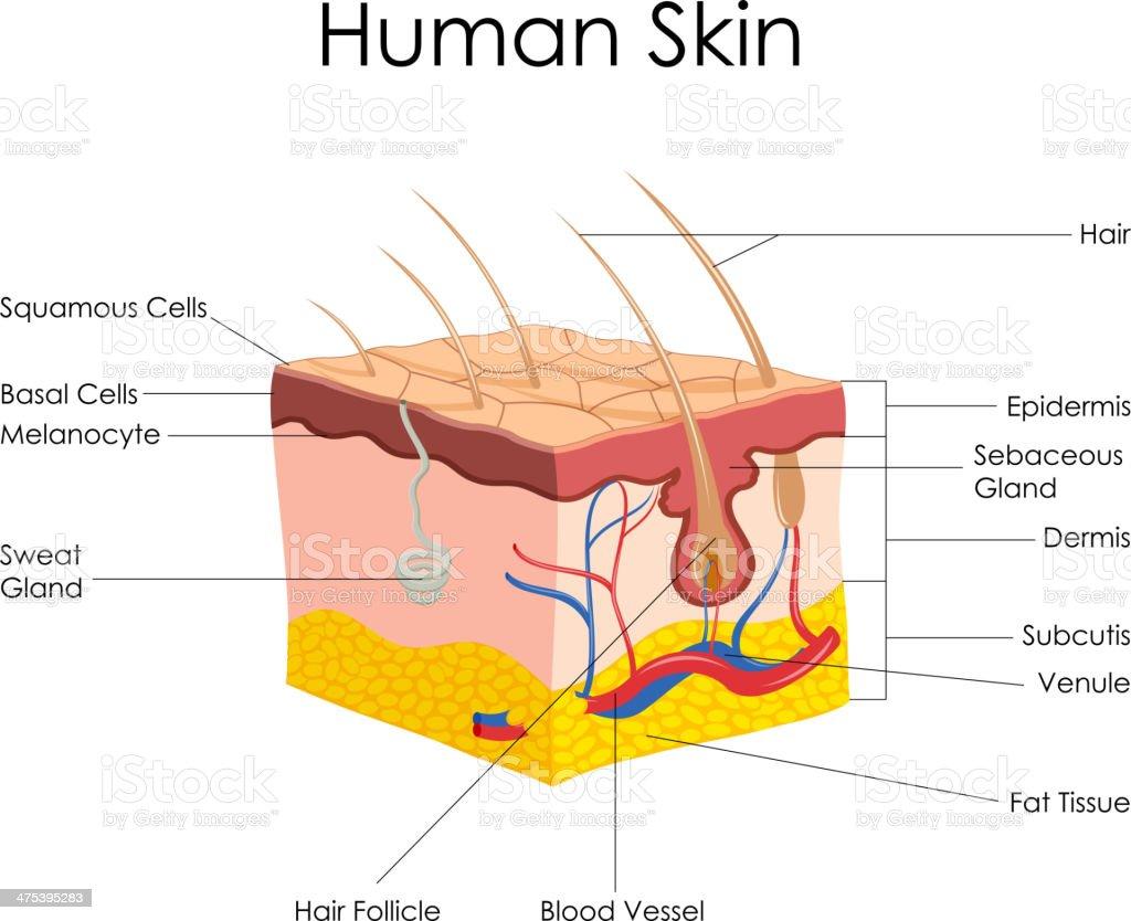 Anatomie Der Menschlichen Haut Stock Vektor Art und mehr Bilder von ...