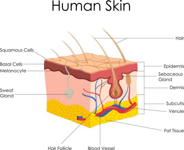 Human Skin Anatomy vector illustration of diagram of human skin anatomy exocrine gland stock illustrations