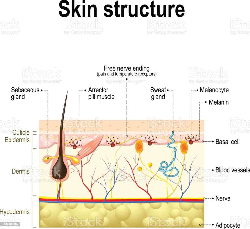 Anatomie de la peau humaine - Illustration vectorielle