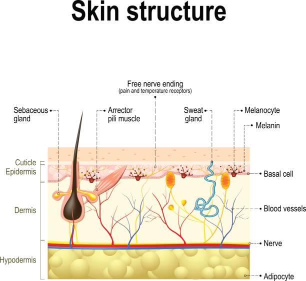 stockillustraties, clipart, cartoons en iconen met anatomie van de menselijke huid - menselijke huid
