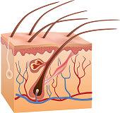 Human skin and hair anatomy