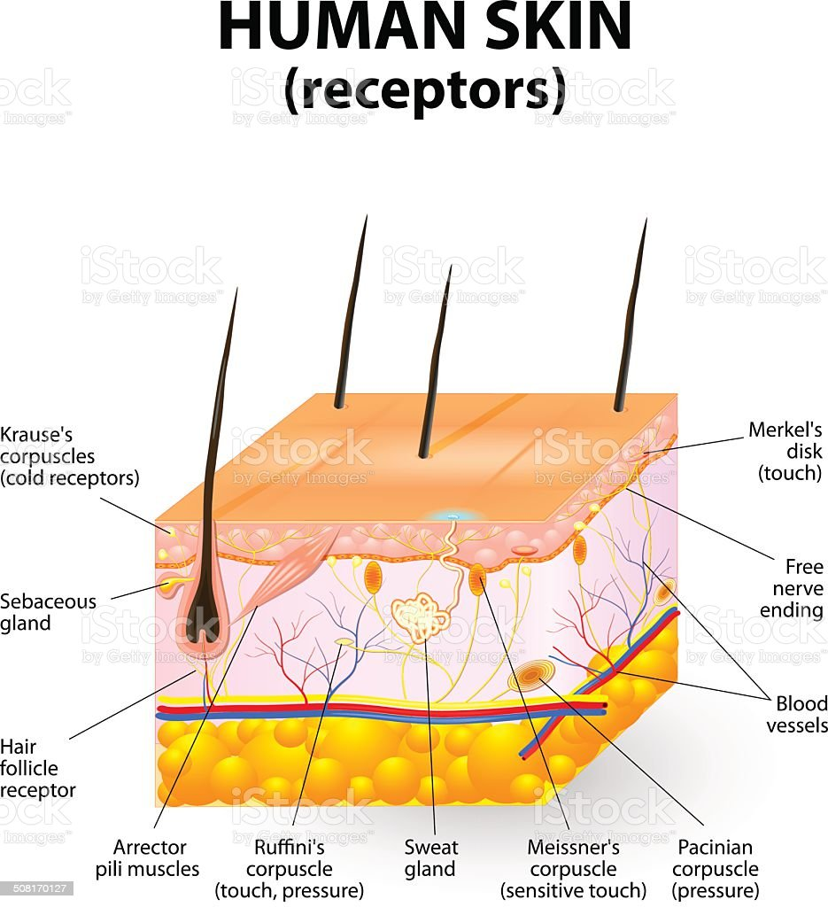 Human skin layer vector cross section stock vector art more human skin layer vector cross section royalty free human skin layer vector cross section stock pooptronica Image collections