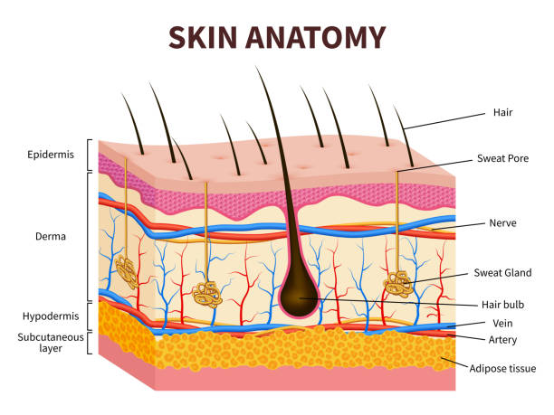 Human skin. Layered epidermis with hair follicle, sweat and sebaceous glands. Healthy skin anatomy medical vector illustration vector art illustration