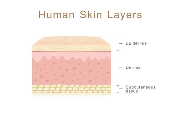 stockillustraties, clipart, cartoons en iconen met menselijke huidlagen - menselijke huid