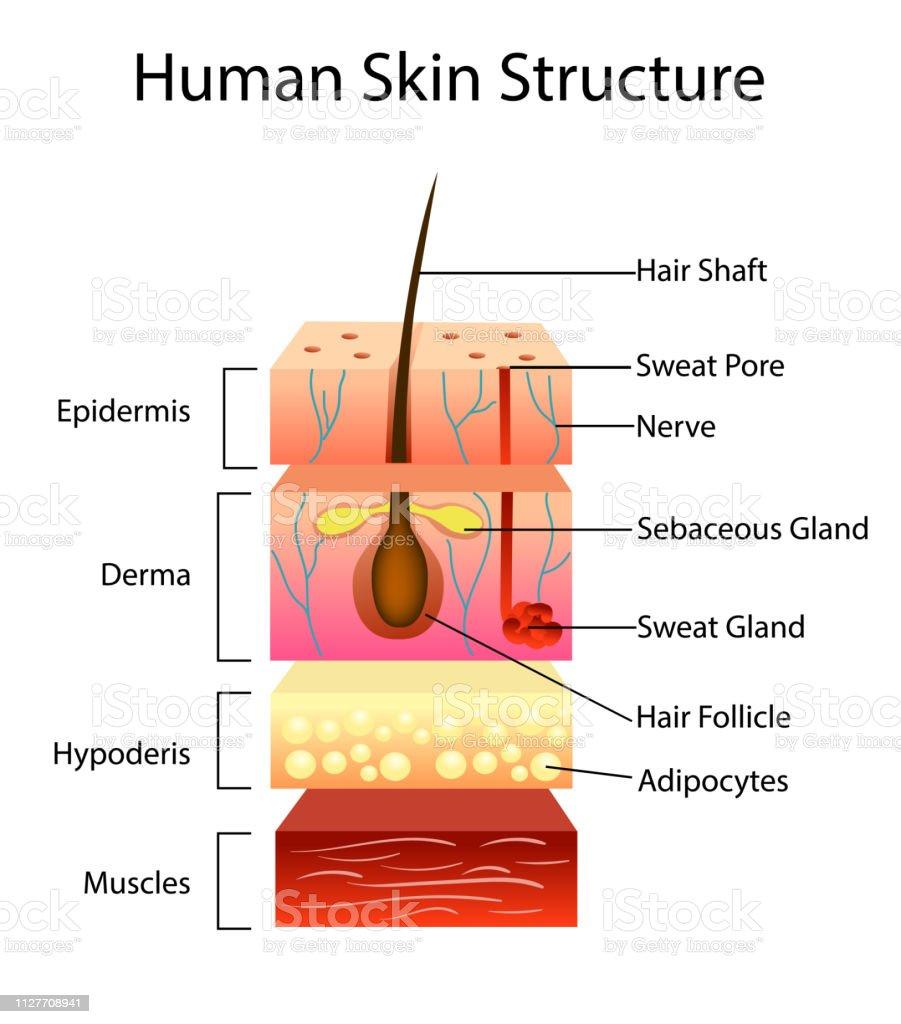 Ilustración De Estructura De La Piel Humana Ilustración