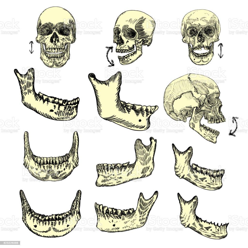 Ilustración de Huesos Del Cráneo Humano Sistema De Dibujo Creación ...