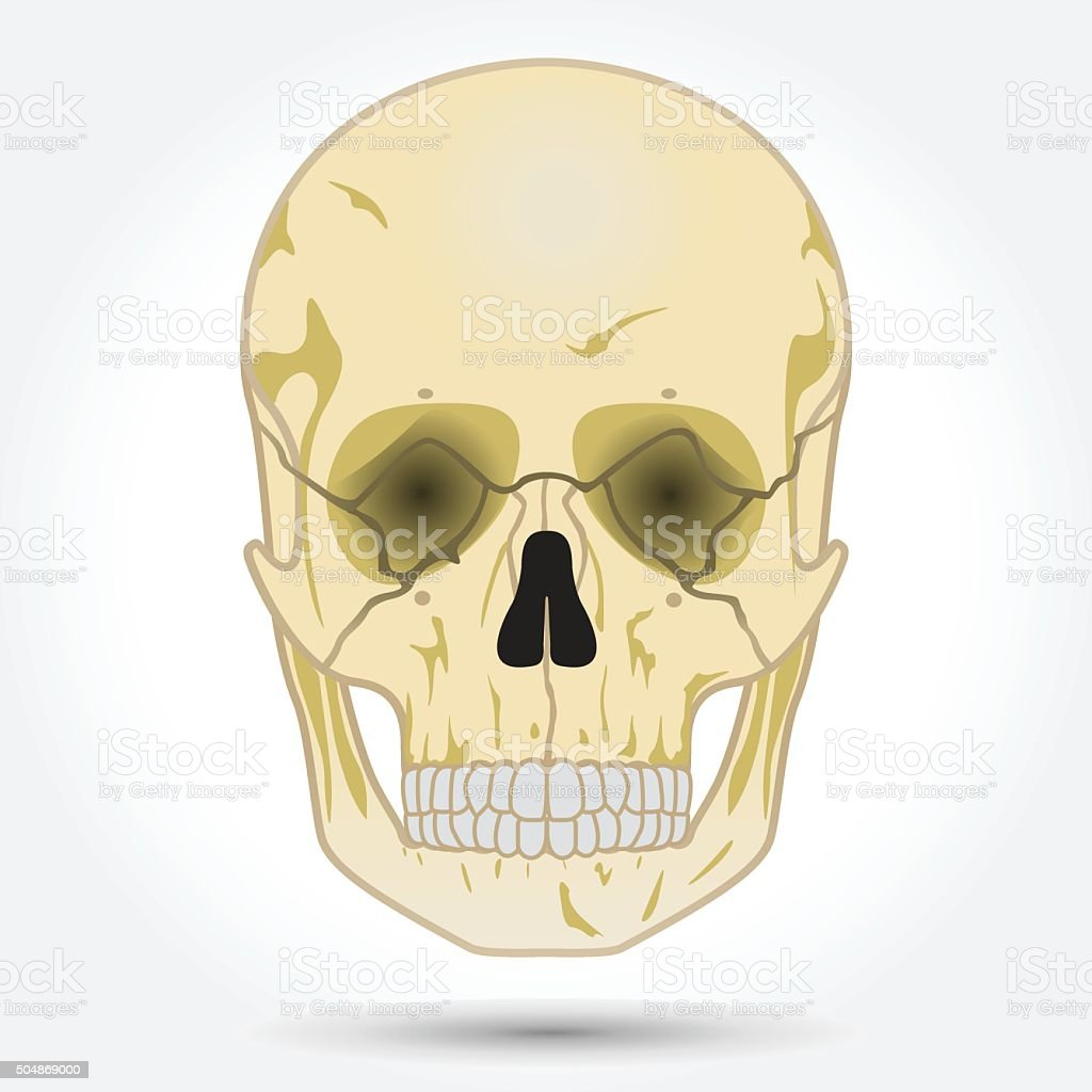 Human Skull Front View Stock Vector Art More Images Of Adult