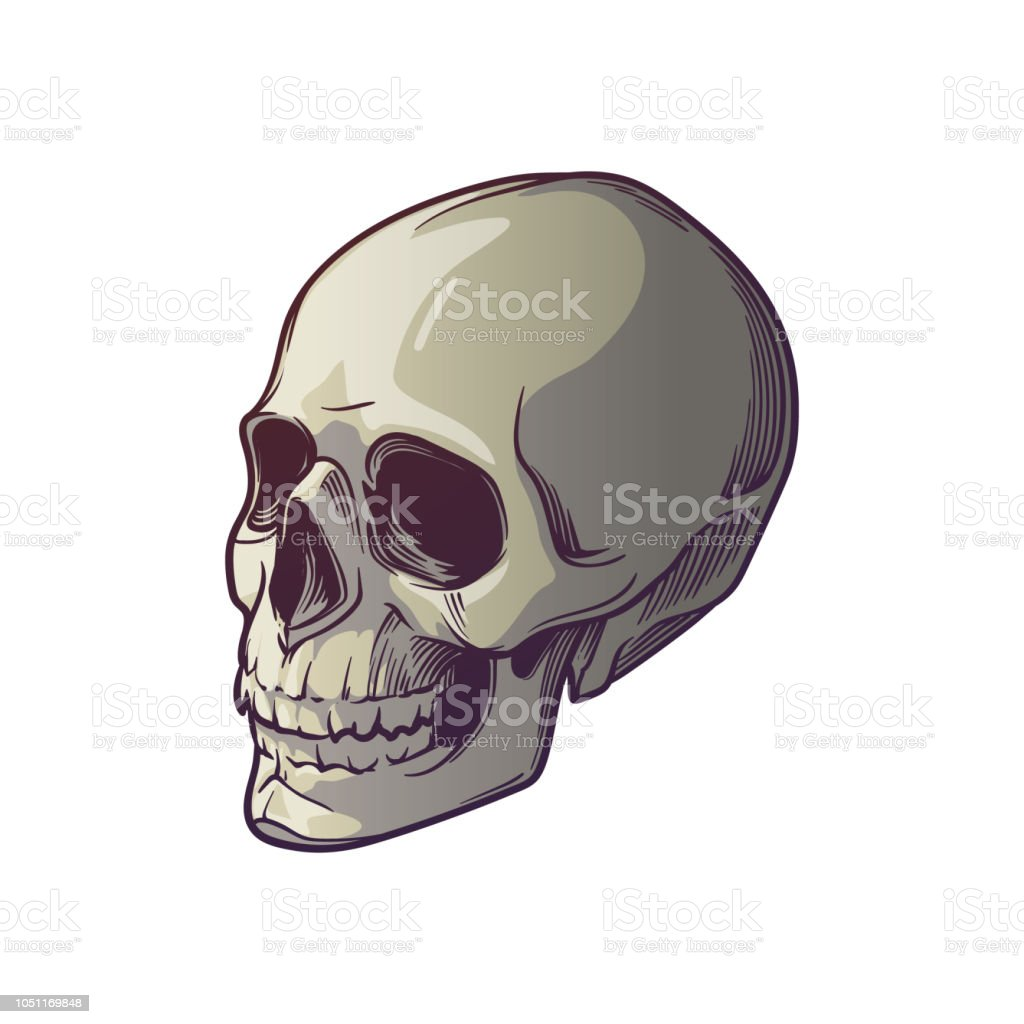 9b2d6925a46 Human Skull hand drawing. Three quarter front view. Linear drawing painted  in 3 shades