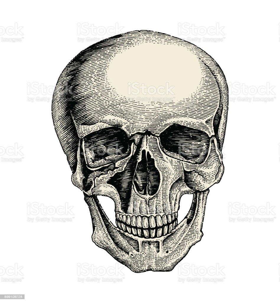 Human Skull Hand Drawing Vintage Styleanatomy Of Skull Stock Vector