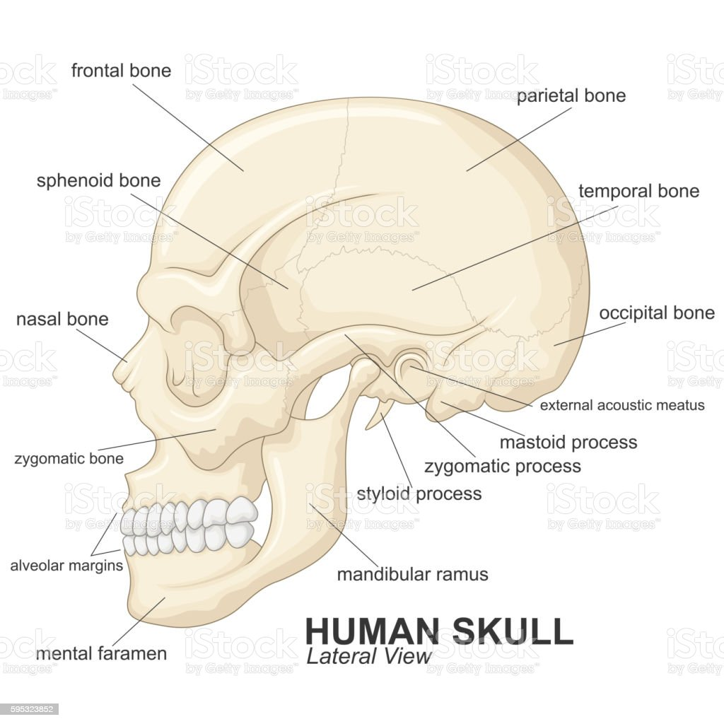 Human skull lateral view with explanation vector art illustration