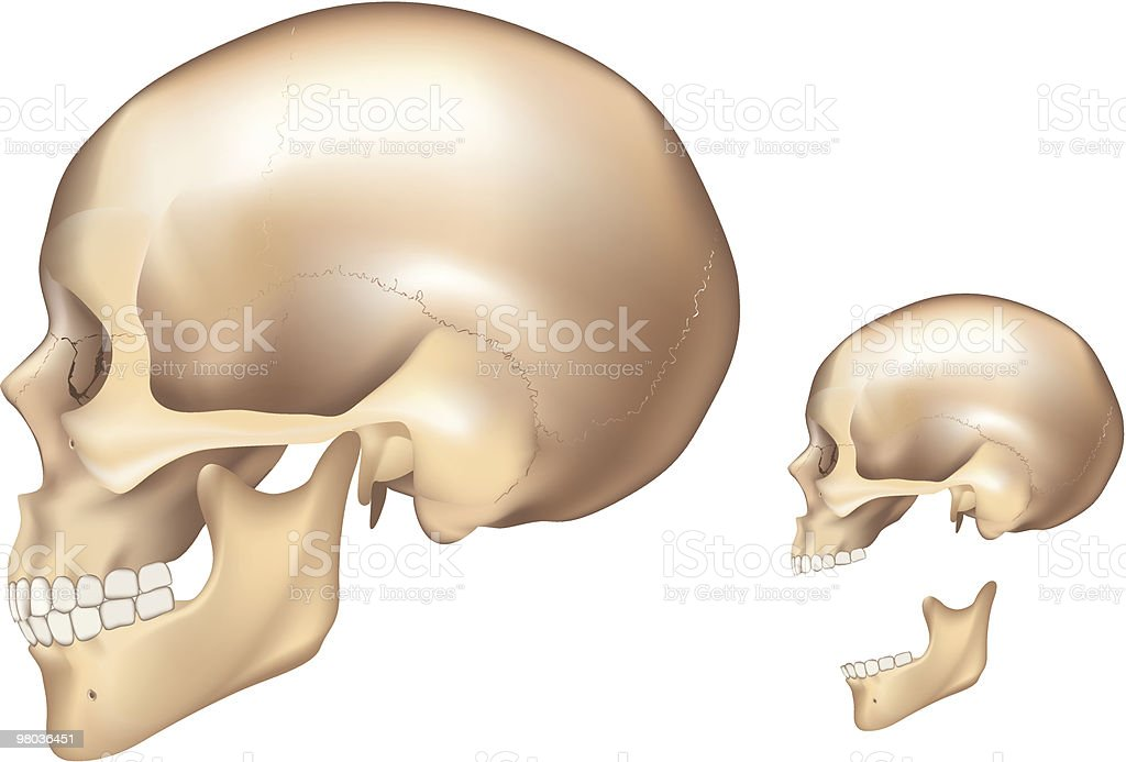 Human Skull Left Side Stock Vector Art More Images Of Anatomy