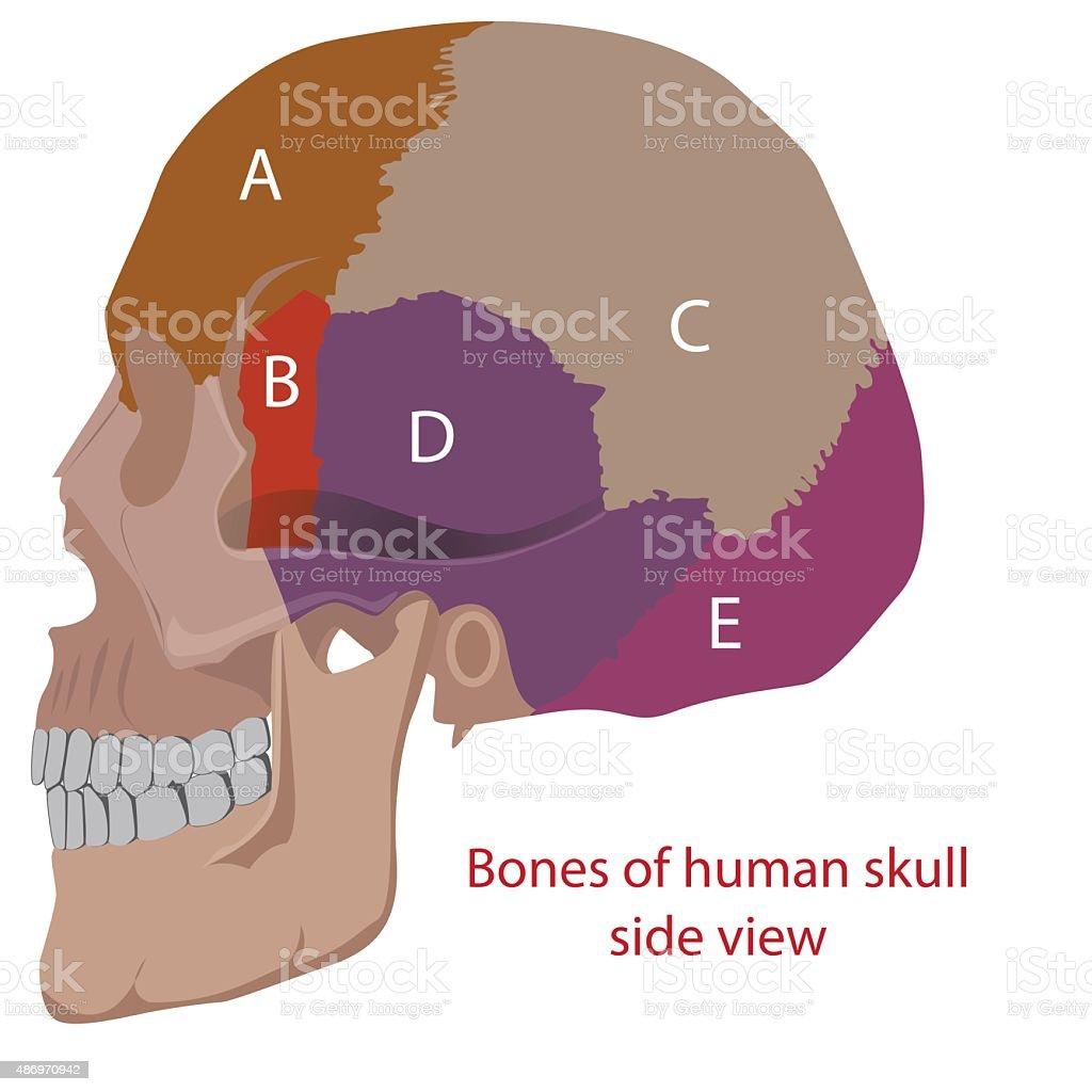 Cráneo Humano - Arte vectorial de stock y más imágenes de 2015 ...