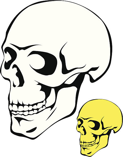 Human skull. vector art illustration