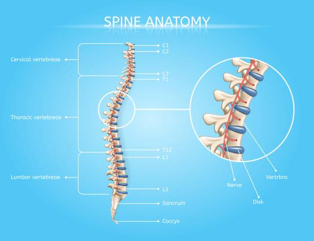 Human Spine Anatomy Vector Medical Infographic Spine Anatomy Vector Medical Scheme with Vertebral Column Regions Lateral View Realistic Illustration. Human Body Internal Structures, Musculoskeletal System Elements Detailed Chart with Text Labels lateral surface stock illustrations