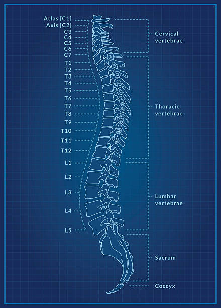 Human Spine Blueprint A detailed blueprint of a human spine showing the side view with different regions and vertebrae labelled. This is an editable EPS 10 vector illustration with CMYK color space. medical diagram stock illustrations