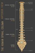 Human Spine Column