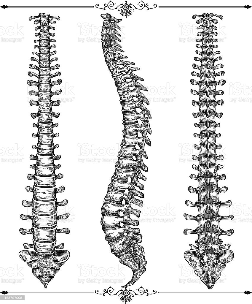 Human spine vector art illustration