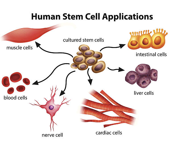 Human Stem Cell Applications Human Stem Cell Applications on a white background human cell stock illustrations