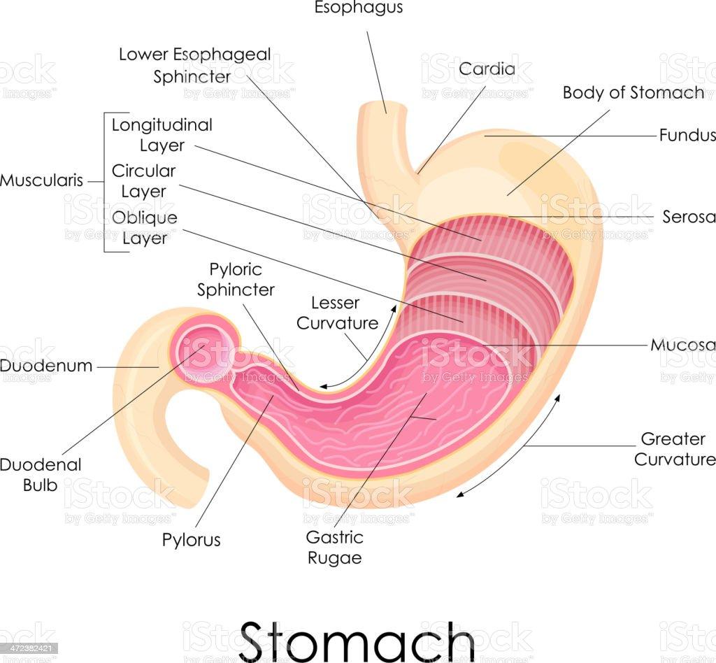 Ilustración de Estómago Humano Anatomía y más banco de imágenes de ...