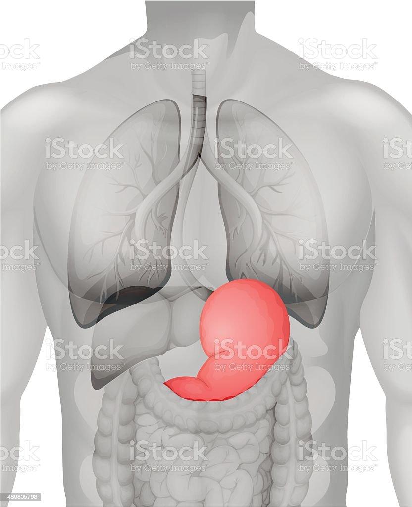 Ilustración de Estómago Humano Diagrama En Detalle y más banco de ...