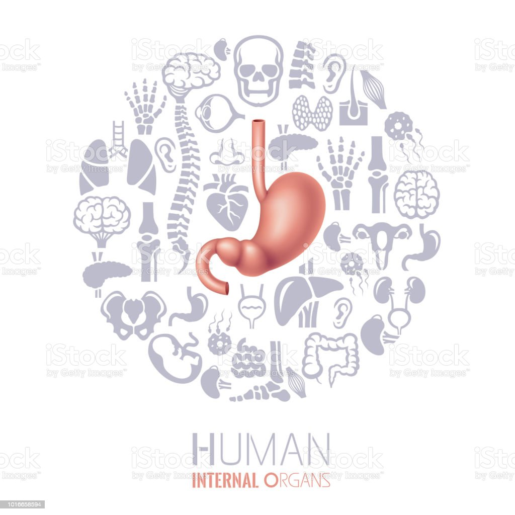 Human stomach. Human Internal Organs Collage vector art illustration