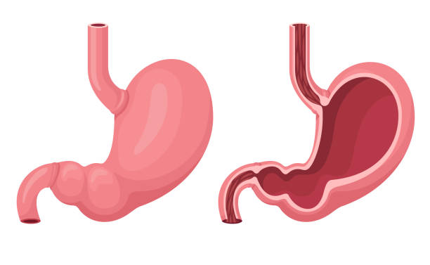 Human stomach inside and outside. Human stomach vector illustration. abdomen stock illustrations