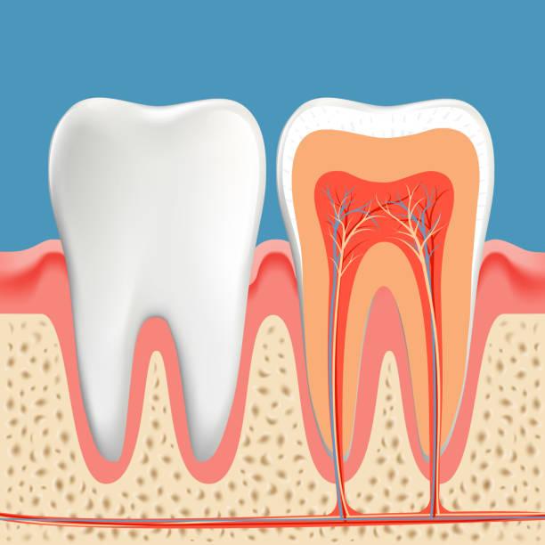 bildbanksillustrationer, clip art samt tecknat material och ikoner med mänskliga tänder diagram. tvärsnitts hålighet av tanden - emalj