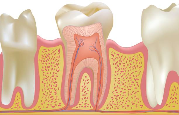 Human Teeth in Gums Human teeth in gums with one cross section of molar. cusp stock illustrations