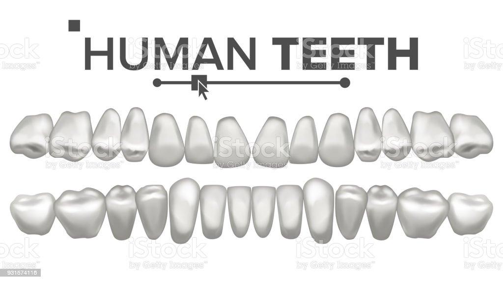 Menschliche Zähne Set Vector Zahngesundheit Schneidezahn Eckzahn ...