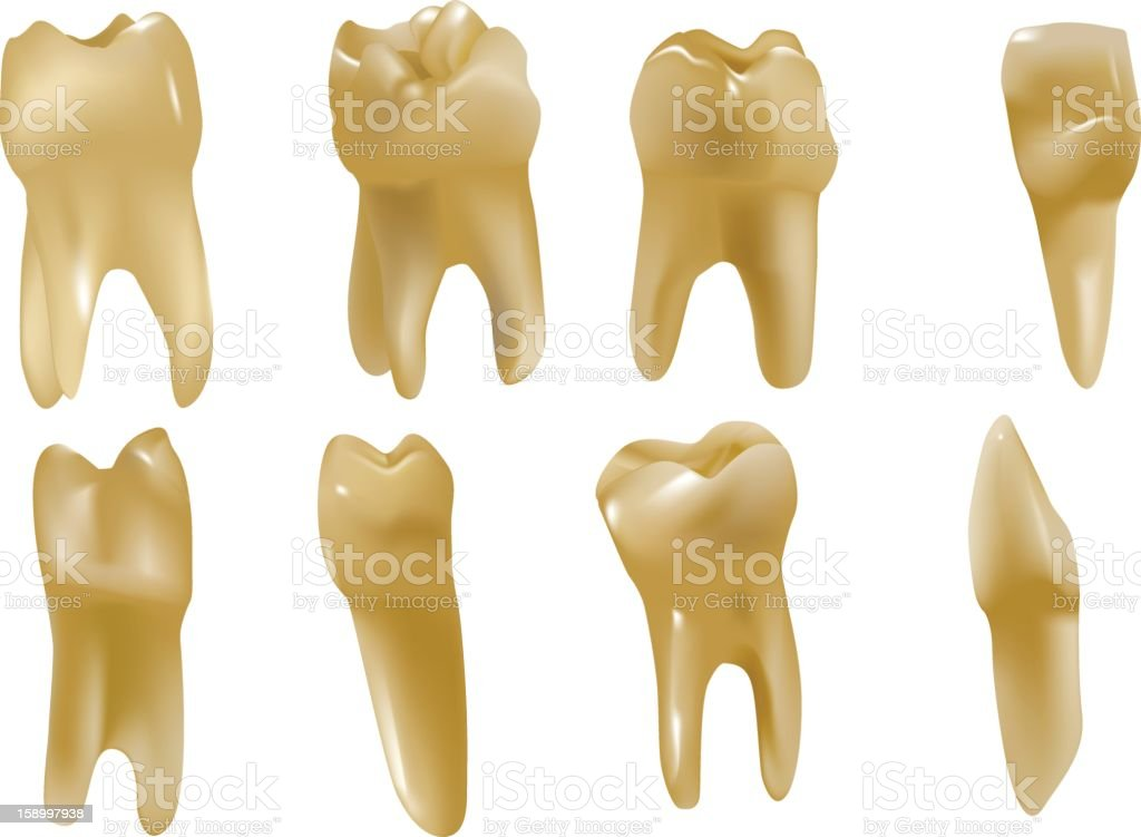 Menschlicher Zahn Stock Vektor Art und mehr Bilder von Anatomie ...
