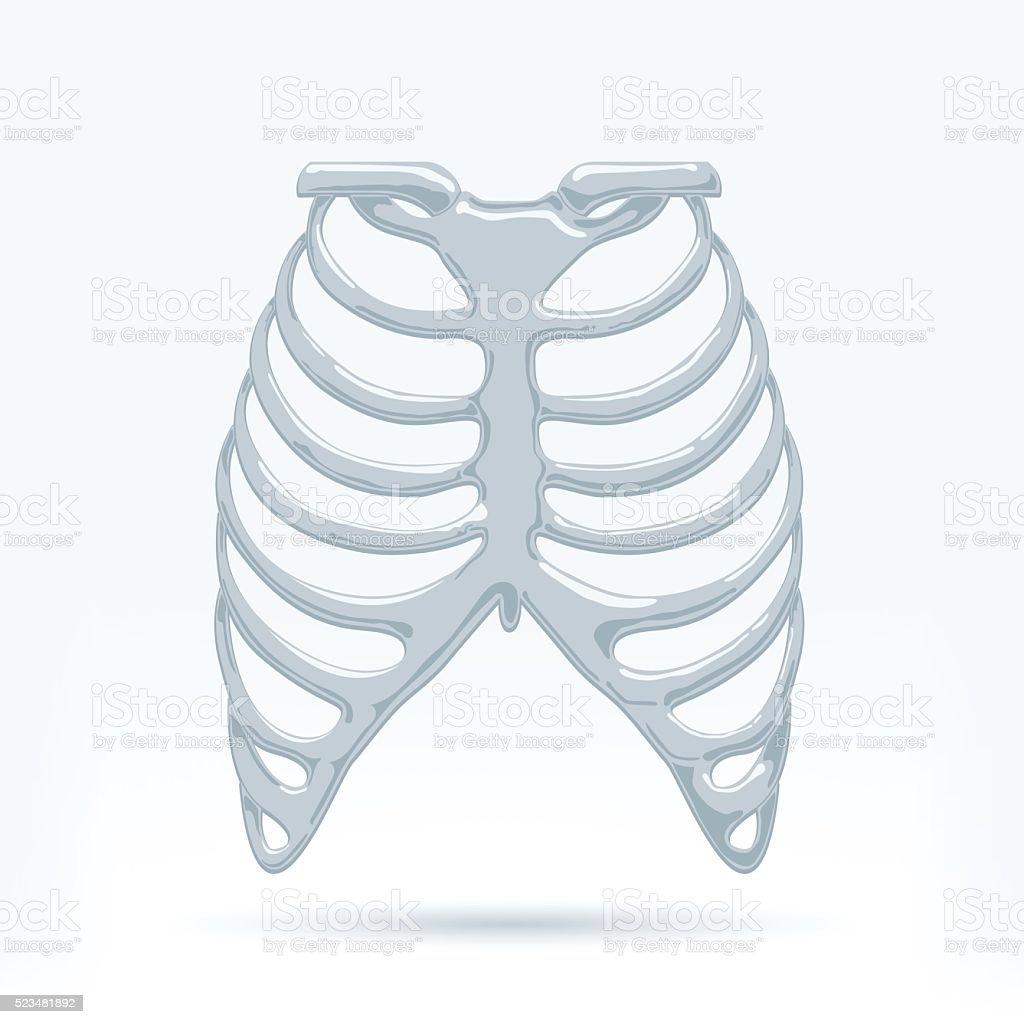 Menschliche Thorax Stock Vektor Art und mehr Bilder von Anatomie ...