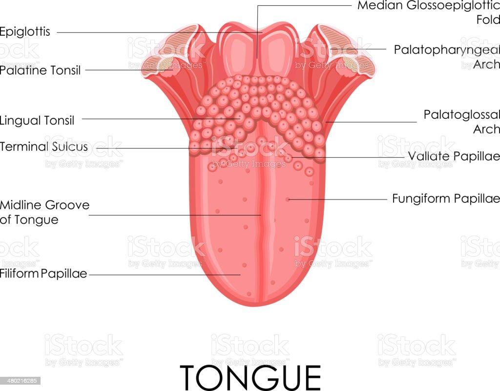 Human Tongue Anatomy vector art illustration