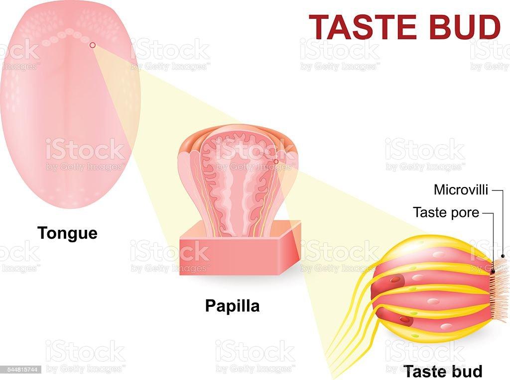 Human tongue, Lingual papillae and taste bud vector art illustration