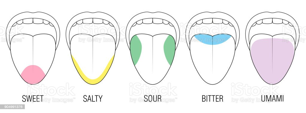 Human tongue with five taste areas - bitter, sour, sweet, salty and umami perception - colored division with zones of different taste buds - educational, schematic vector on white background. vector art illustration
