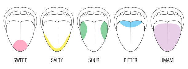 Human tongue with five taste areas - bitter, sour, sweet, salty and umami perception - colored division with zones of different taste buds - educational, schematic vector on white background. Human tongue with five taste areas - bitter, sour, sweet, salty and umami perception - colored division with zones of different taste buds - educational, schematic vector on white background. salt seasoning stock illustrations