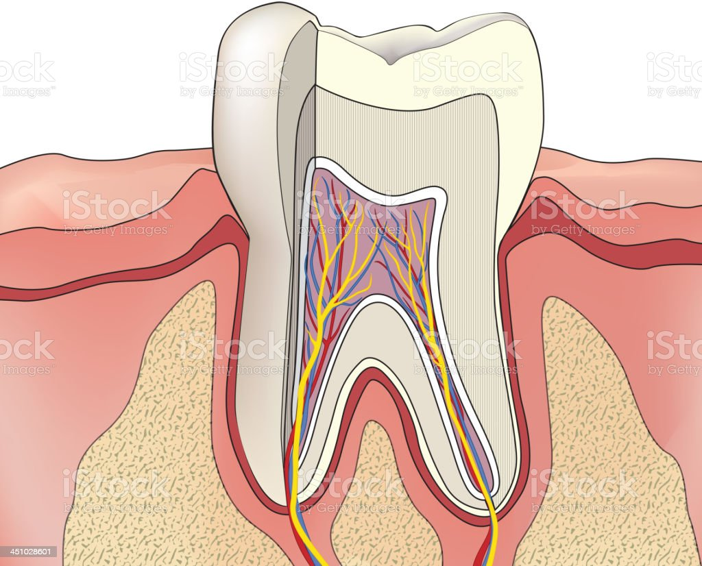 Human Tooth Anatomy Stock Vector Art & More Images of Anatomy ...