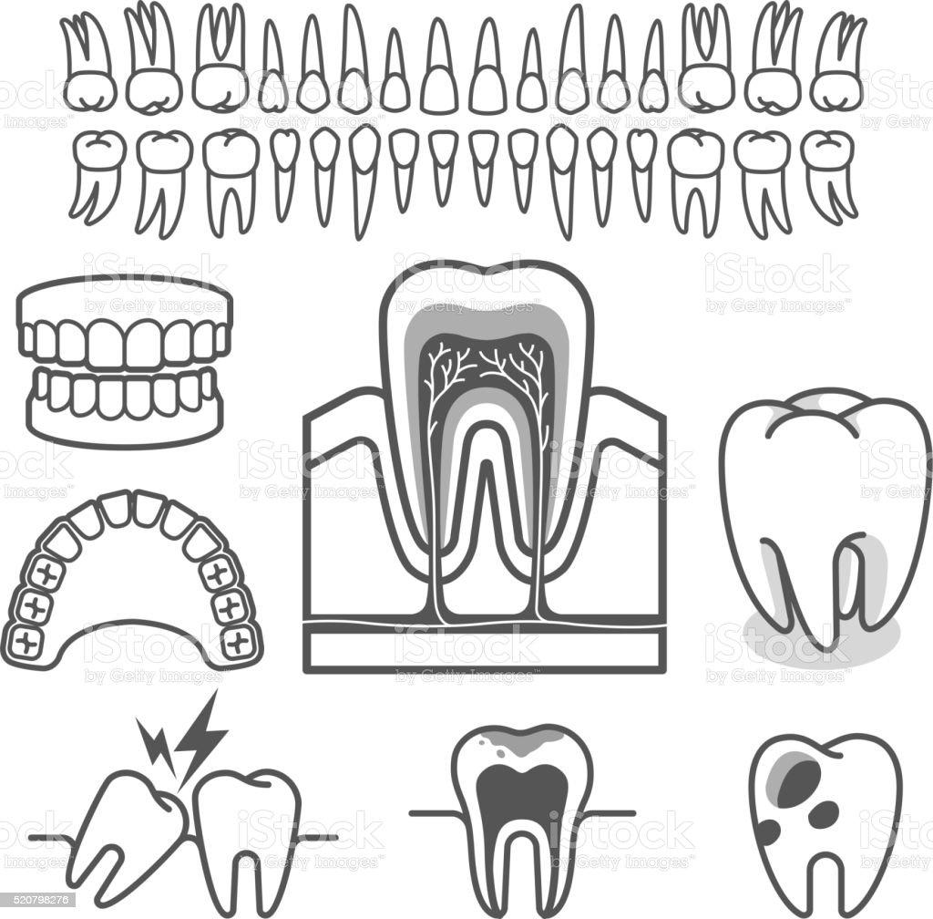 Menschlicher Zahn Anatomie Stock Vektor Art und mehr Bilder von ...
